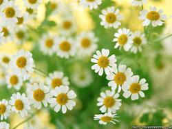 Beautiful White Flowers Wallpaper: Daisy Family Flower Wallpapers Crazy Frankenstein 1024x768px