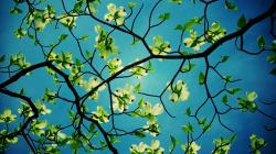1920x1080 Wallpaper dogwood, flowering, branches, sky, beauty