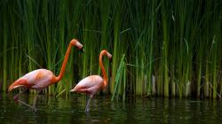 Beautiful Flamingos Wallpaper in 1920x1080 HD Resolutions