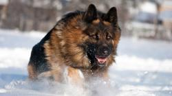 German shepherd cute dog beautiful images and hd wallpapers