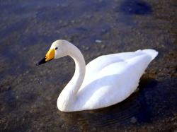 Beautiful Goose