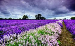 Beautiful purple lavender tablet wallpapers 1280x800
