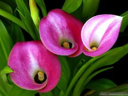 Wallpaper: Beautiful calla lily wallpapers
