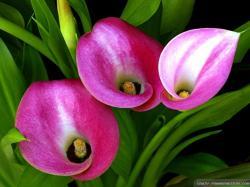 Wallpaper: Beautiful calla lily wallpapers
