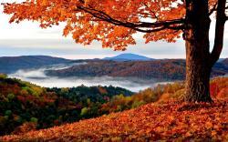 Beautiful Maple Tree