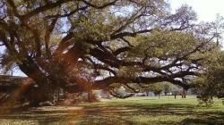 Beautiful Oak Tree