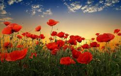 poppy flowers sunset nature images Poppy Flower Desktop Wallpaper