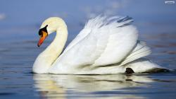 Birds beautiful swan