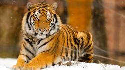 Beautiful Tiger Image 2015 Hd Background Wallpaper 22 Thumb
