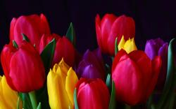 beautiful tulip flowers hd wallpapers cool desktop background images widescreen