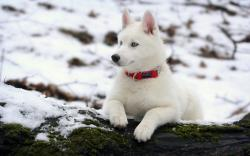 Beautiful White Siberian Husky Wallpaper Desktop Wallpaper