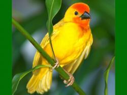 ... Beautiful Yellow Birds 13 ...