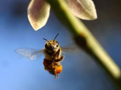Utah State Insect - Honey Bee
