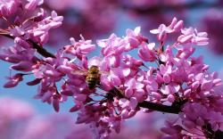 Bee pink spring blossom