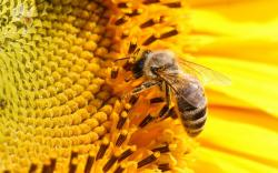 Honey bee on sunflowers
