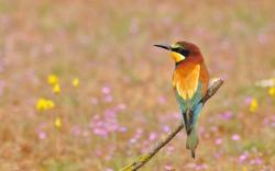 Bee-Eater Bird Field