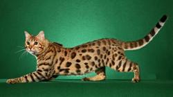Bengal Cat Pictures