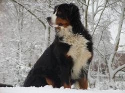 bernese-mountain-dog-mix-puppies-for-wallpaper-131