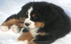 Puppies Bernese Mountain Dog puppy