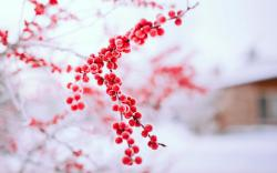 Berries Red Branch Tree Winter Nature