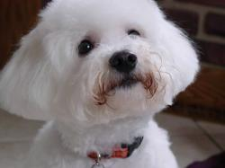 Bichon Frise Breed