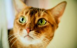 Cat big green eyes