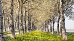 ... Birch Tree Wallpaper; Birch Wallpaper; Birch Wallpaper