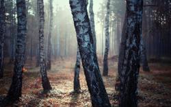 Birch Tree Forest   2560 x 1600   Download   Close