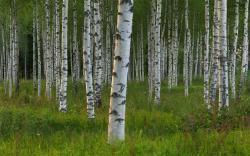 Free Birch Tree Wallpaper