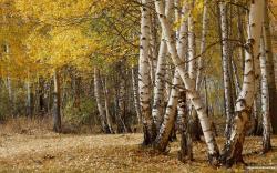 Birch Trees Forest Wallpaper