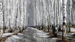 Birch HD Wallpaper