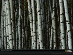 Birch Tree Desktop Wallpaper 02