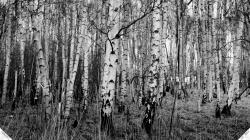 ... birch wallpaper ...