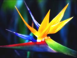 Bird Of Paradise Flower Images High Quality 7 Thumb