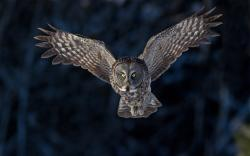 Bird Owl Flying Wings