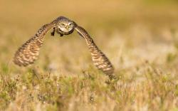 Bird Owl Flying Over Field Nature HD Wallpaper