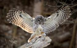 Bird Owl Wings Feathers