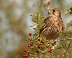Brown Bird Red Berries Wallpaper 1280x1024