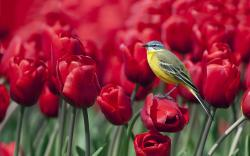 Bird red tulips