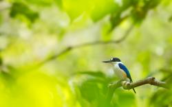 Kingfisher Bird Wallpaper