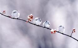 Snowyowl Wallpaper · Short Bird Wallpaper