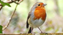 Robin Birds Chirping and Singing - Relaxing Video, Bird Song and Nature Sounds in HD