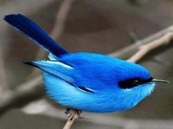 Painting Birds; animals,blue bird,birds,nature