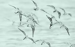 Birds Gulls Flock Flight