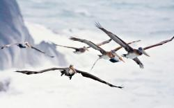 Birds Pelicans Flight Wings Sea Waves