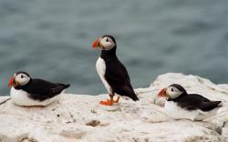 Birds Puffin Sea