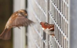 Birds Sparrows Focus Fence