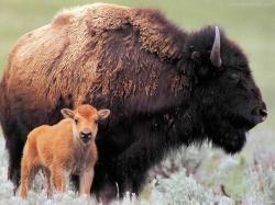 Bison-And-Cute-Baby-Bison