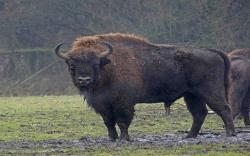 european bison 162510