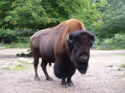American Bison Animal Images